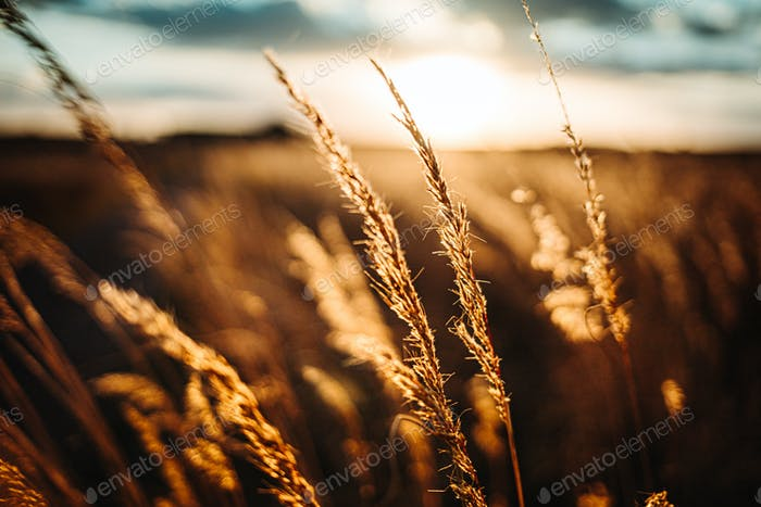 Wheat flowing in the Wind