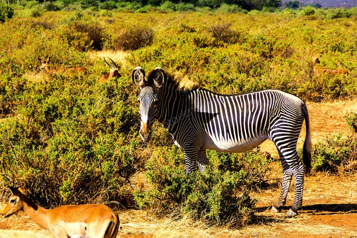 zebra in the savanna, africa, african, alert, equid, animal