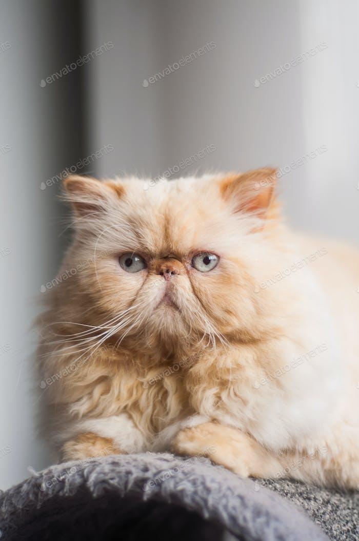 Pet Persian cat