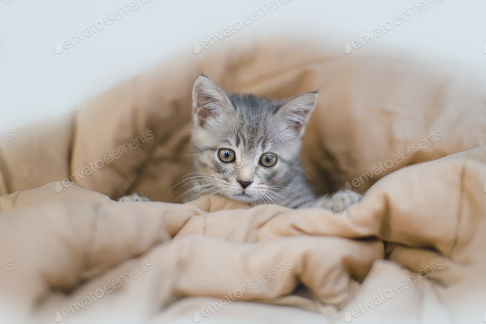 Gray kitten on brown bed