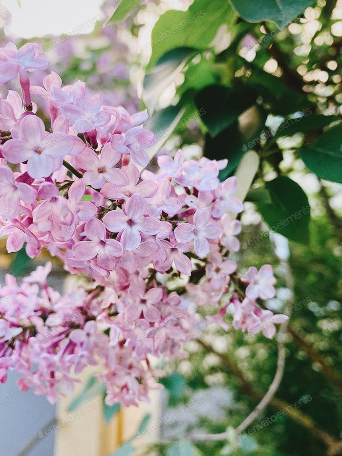 Lilac. Lilac flowers. Summer time