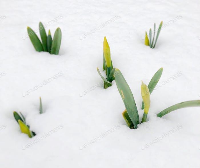 Daffodils under snow. Spring awakening