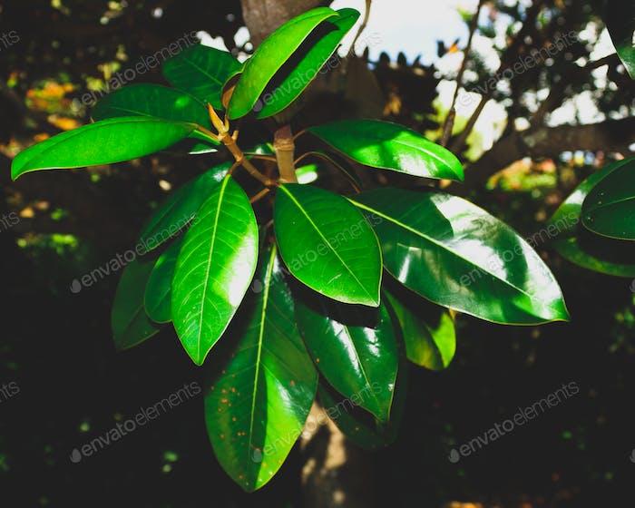 shiny green foliage