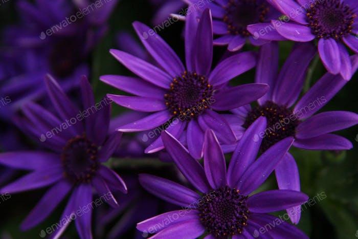 Purple-Bold Purple daisies.