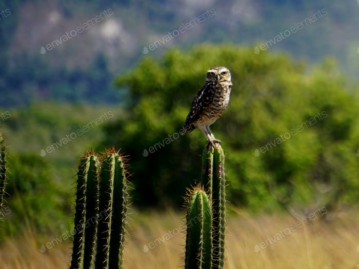 Owl perched on a cactus