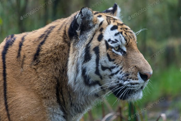 An Amur Tiger or Siberian Tiger - Found in the far northeast of China and in eastern Siberia in