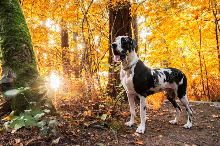 Autumn sunburst forest with harlequin great dane dog standing on hiking trail.