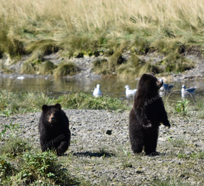 Baby Grizzly Bear cubs can't see momma anywhere