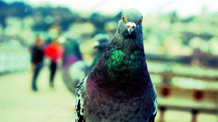 Taube blickt in die Kamera