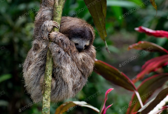 Young sloth hanging in a small tree in the garden of our holiday rental