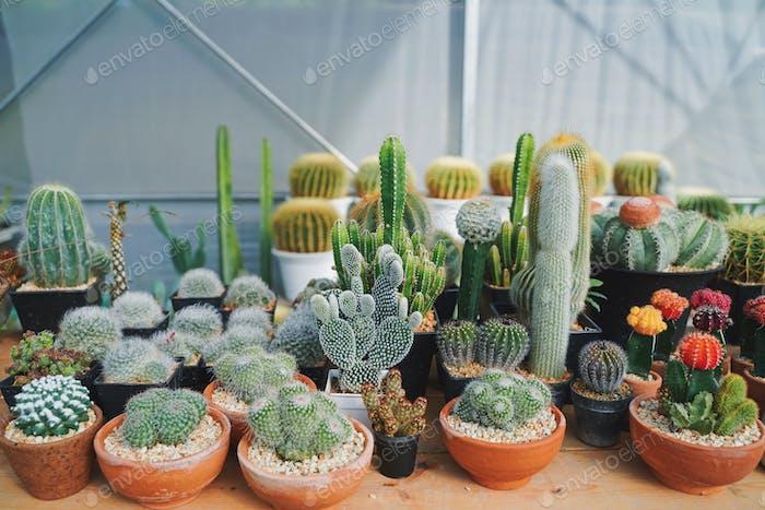 Verschiedene Kaktus