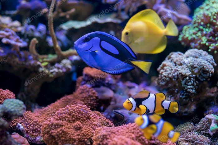 Nemo fish. Amphiprion