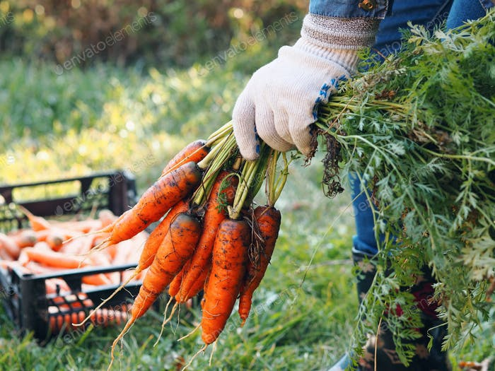 Female hand with bundles of harvesting carrots with tops.We remove the carrots from the garden and p