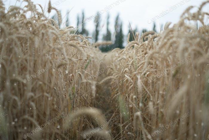 the rye field