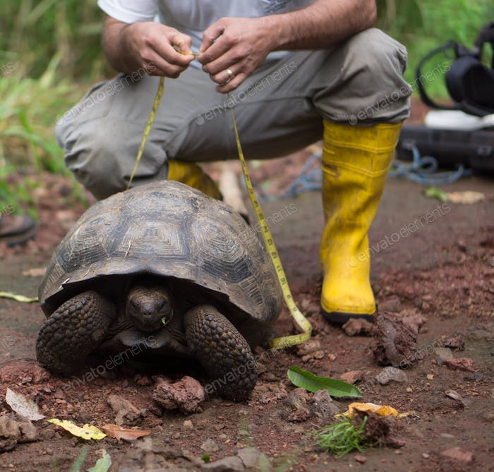 Scientist in yellow rubber boots measuring a giant tortoise