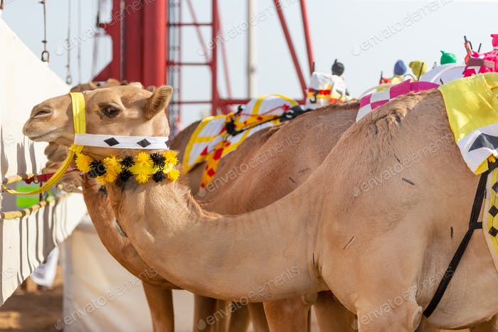 Cute camels in Abu Dhabi, UAE waiting for the race to start