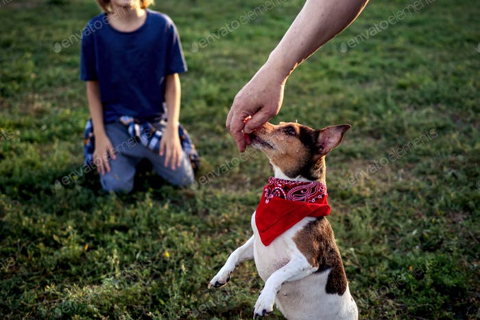 Perfect pets Cute dog puppy Jack Russell Terrier on green grass in doggy park Funny pet in red scart