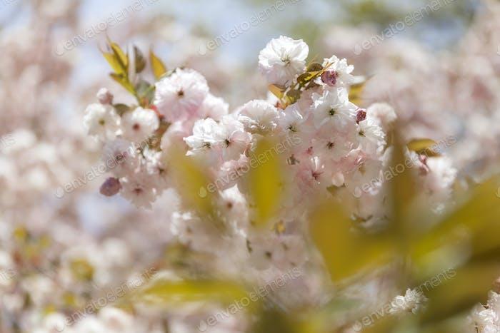 Cherry blossom (Ir is nominated already, thank u!)
