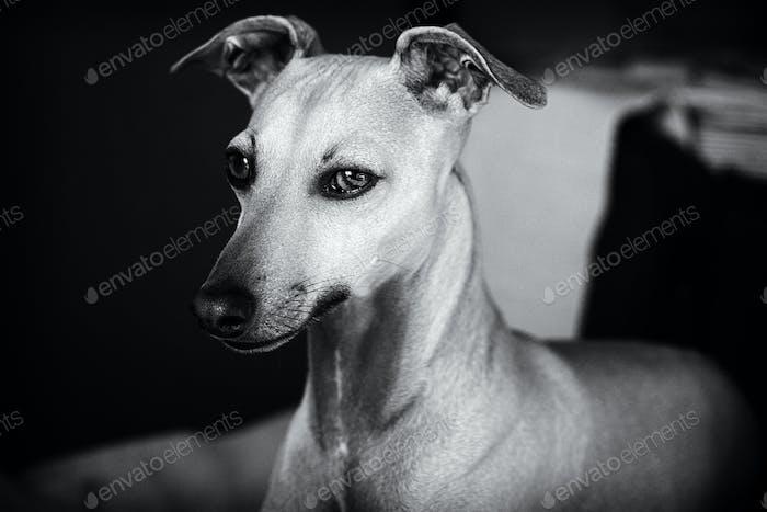 Italian Greyhound (Rio)