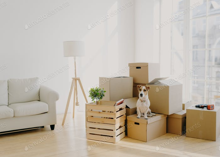 Cute domestic dog poses near cardboard boxes in spacious room with sofa,  change place of living