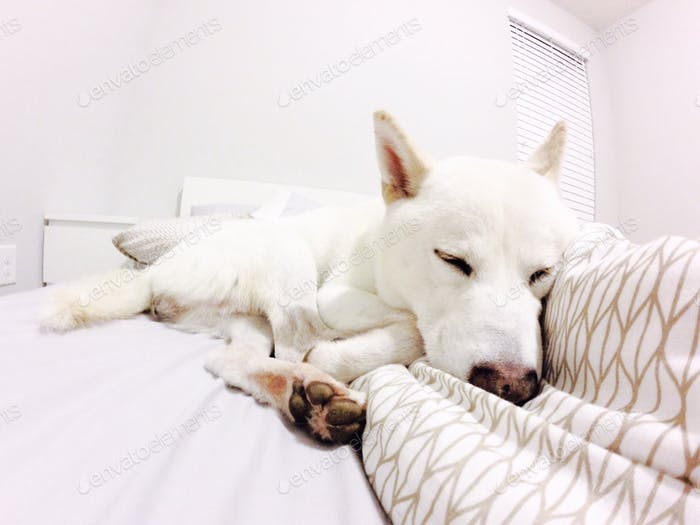 Snow White shiba inu sleeping good night!!