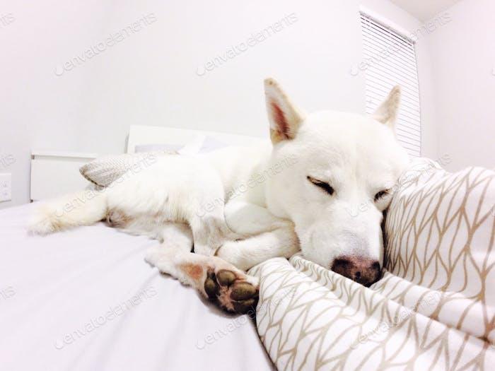 Branca de Neve Shiba Inu dormindo boa noite!!