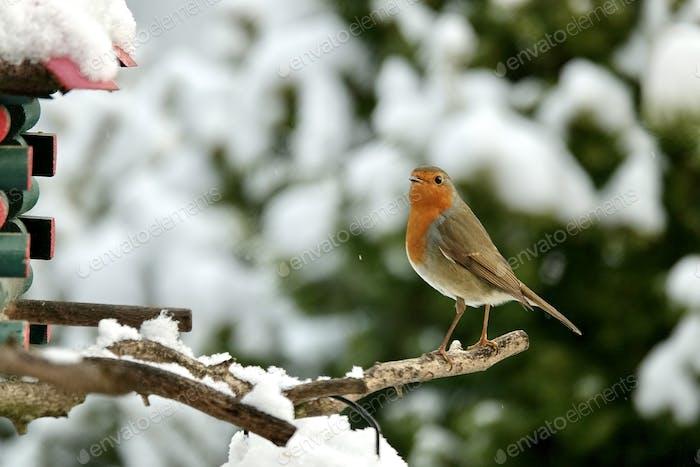 Robin Bird feeding