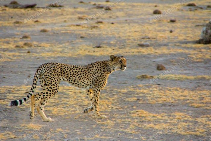 Gepard, Afrika, Afrikaner, Alarm, Tier, Fleischfresser, Naturschutz, Kreatur, gefährlich,