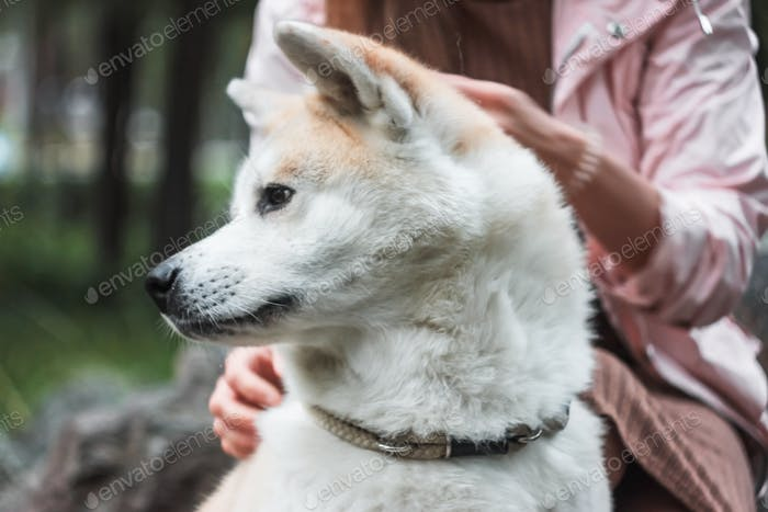 Japanese dog Akita inu portrait with young woman outdoors