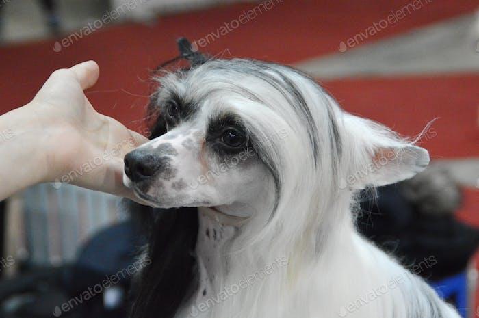 Purebred dog at Zagreb dog show