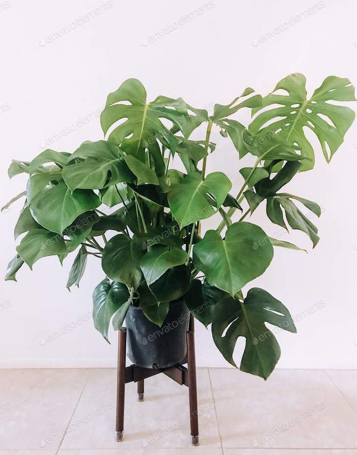 Monstera houseplant