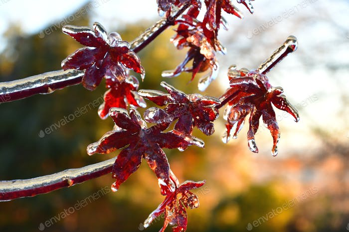 Ice accumulation on red leaves after sleet and freezing rain in an early winter, late fall storm.