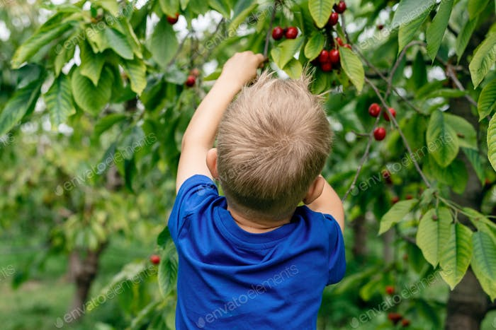 A boy picking cherries in the orchard.