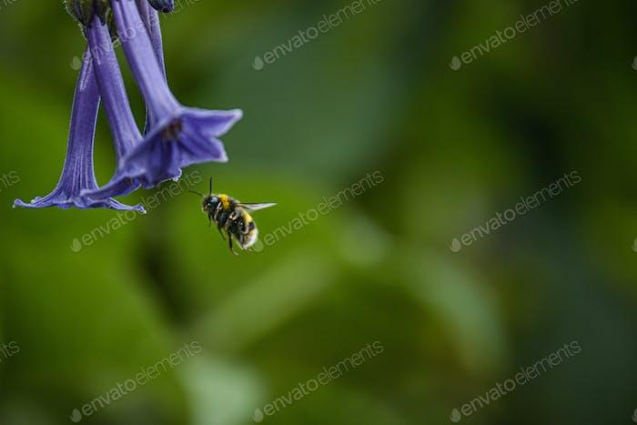 Eine Hummel fliegt unter einer lila Blume