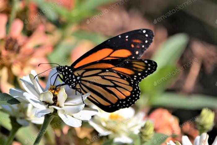 Monarch butterfly #flowersphotography #flowersphoto #flowerstalking #flowerday #flowersday