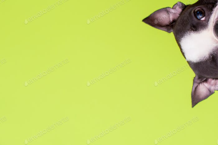Funny head of a Boston Terrier dog looks out on a green background. Copy space. Creative.