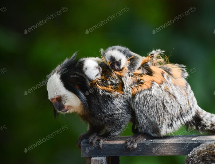 Marmoset monkey with two babies on her back