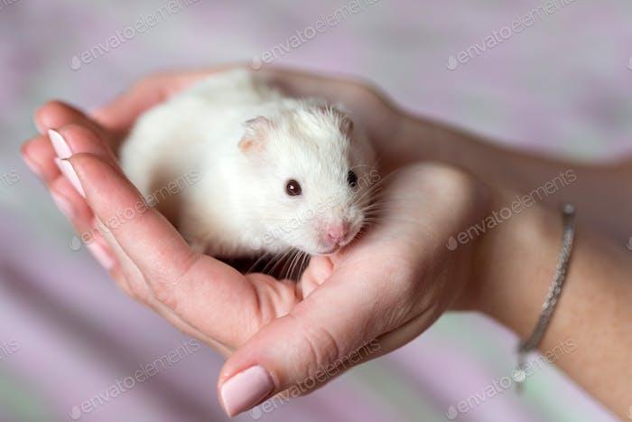 Cute little hamster in hands, love, care, closeup