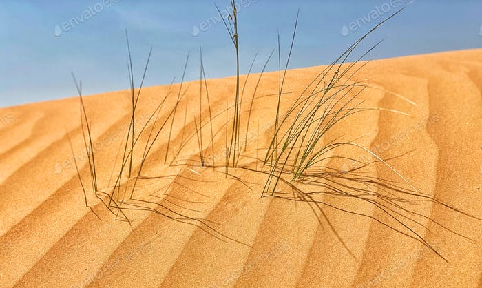 Sparse green grass in the beautiful desert sand dune beneath blue sky