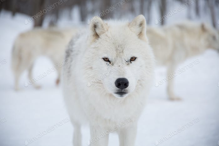 Arctic Wolfpack in snow