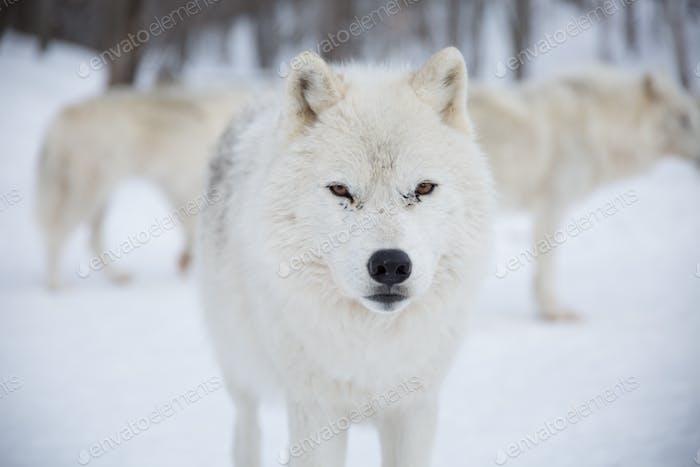 Arctic Wolfpack im Schnee