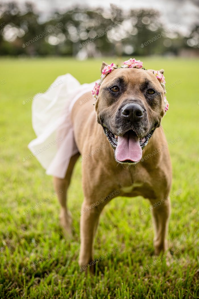 Mastiff dressed up as a ballerina