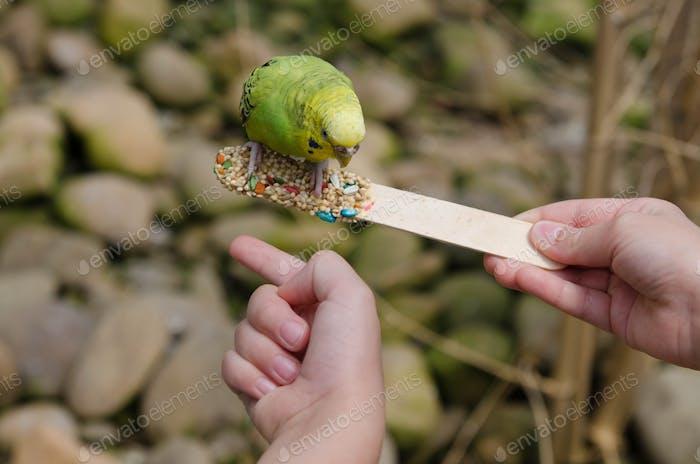 Parakeet feeding