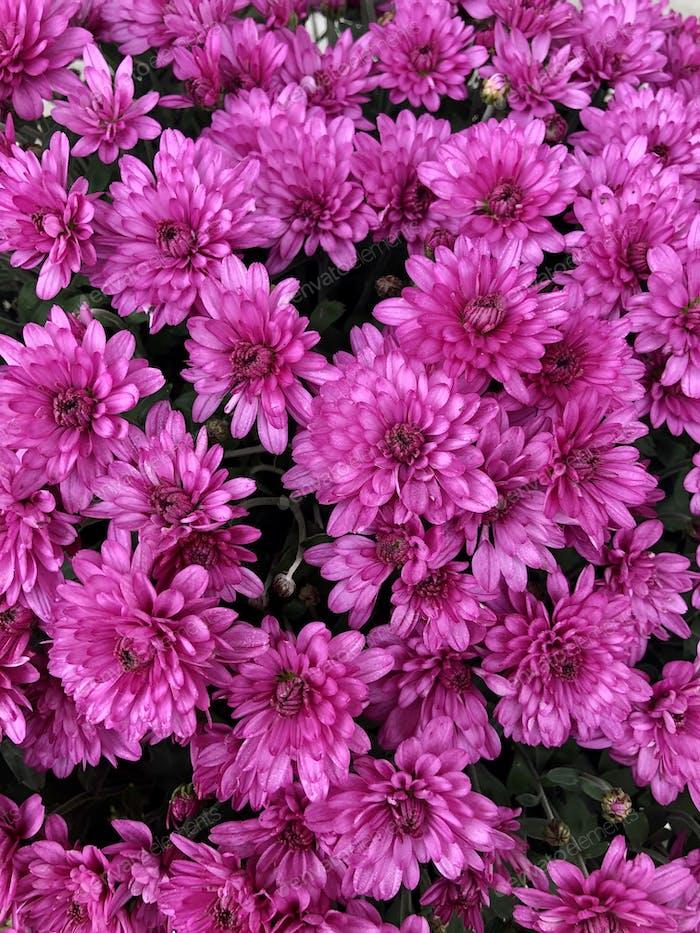 Violette Chrysanthemen.