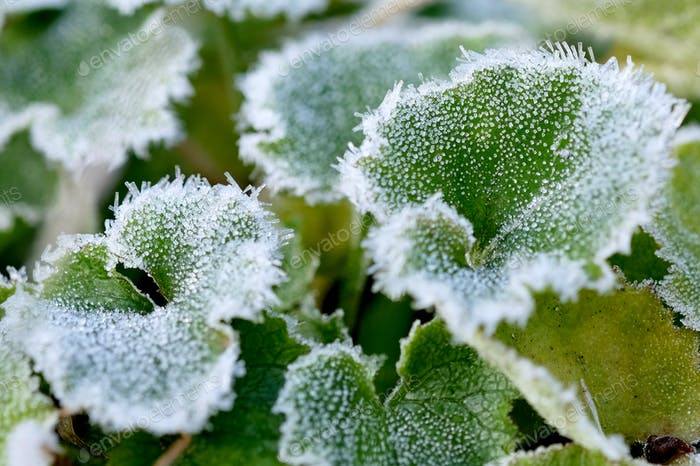 Frozen hoarfrost on green leaves.