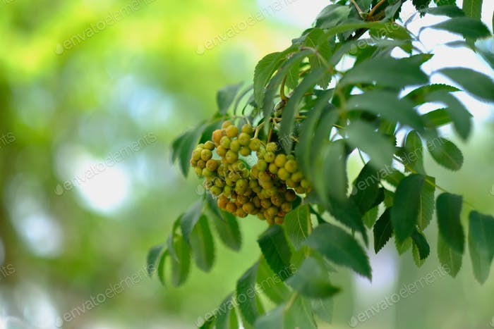 A rowanberry branch, green, berries, nature, natural, naturopathy, natural remedy