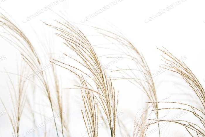 Natural grass in the wind