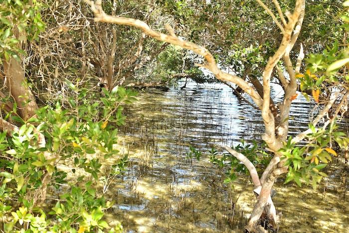 Seaside Mangrove
