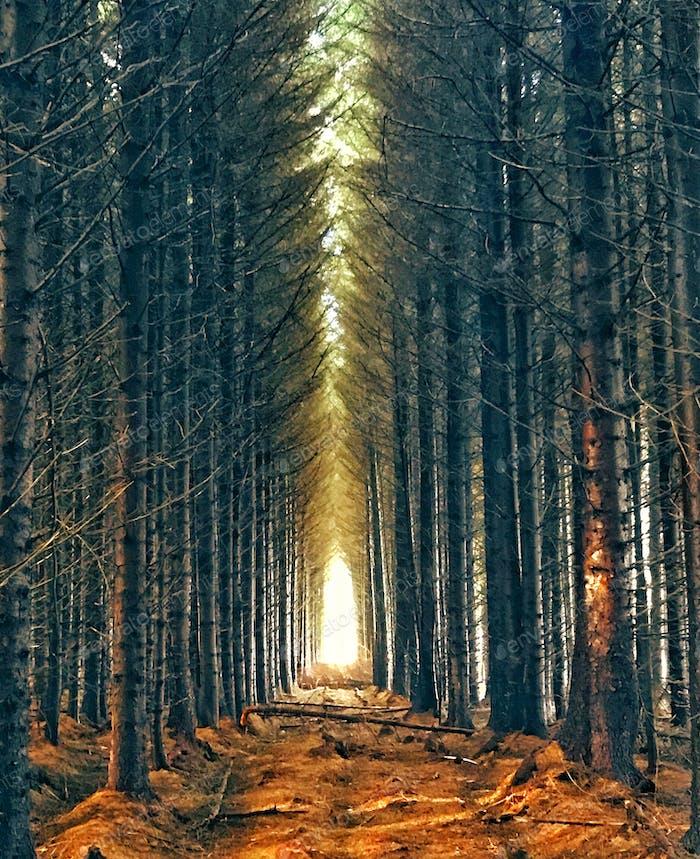 Pine trees plantation