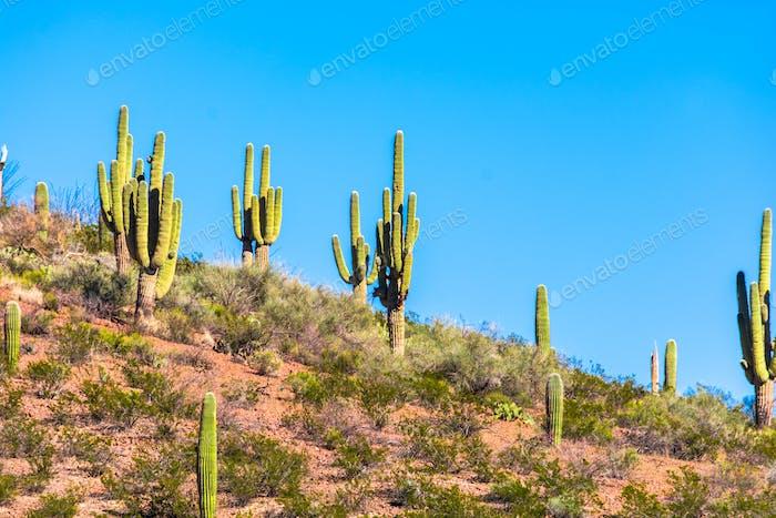 Saguaro Cactus en Arizona